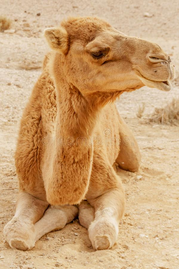 Picturesque desert dromedary camel lying on sand. Summer sahara travel. And tourism stock images