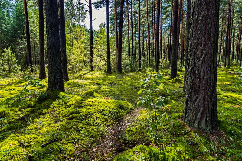 A picturesque forest glade with a small path on the background of a pine forest. For your design stock photography