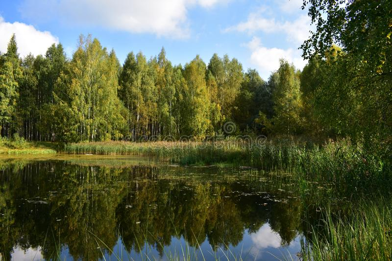Picturesque forest pond overgrown grass trees water mirror reflects the sky royalty free stock photo