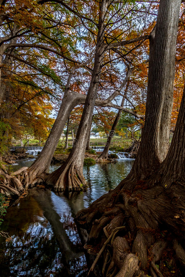 Picturesque Giant Cypress Trees with Massive Roots. A Picturesque Waterfall in the background of a Tangle of Giant Cypress Tree Roots with Beautiful Fall Foliage stock photography