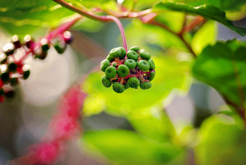 Picturesque green berries with red stem in late summer at Morton Arboretum in Lisle, Illinois. Green and red berries on a red stem with green leaves with the royalty free stock photography