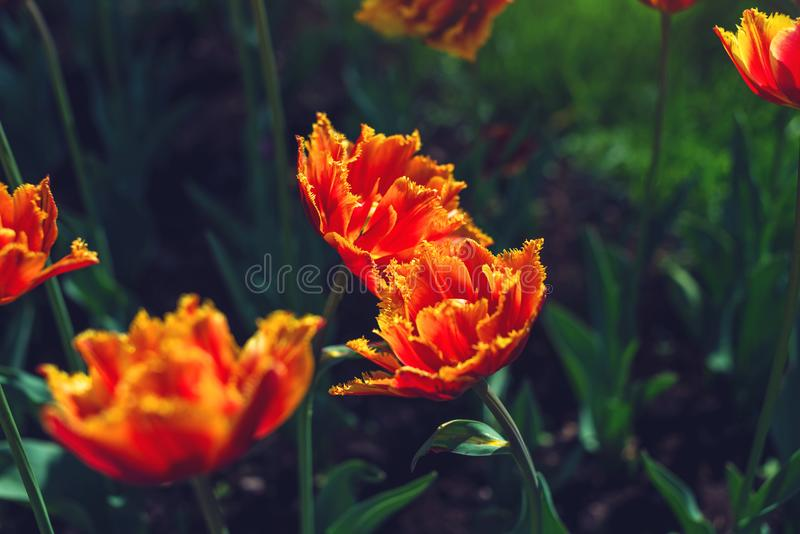 Picturesque meadow with a beautiful blossoming buds of yellow orange tulips. Cute bright background of blooming flowers royalty free stock images