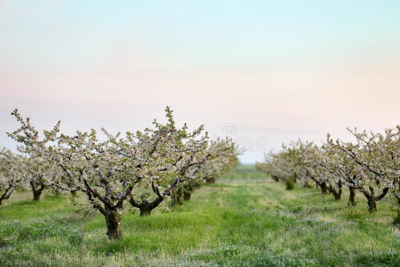 Picturesque orchard with blossoming trees. On warm spring day stock photos