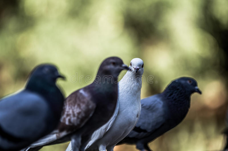 Picturesque Pigeons. White diva pigeon and three dark pigeons with blurry background royalty free stock image