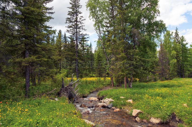 A picturesque place in the Altai Mountains with a small river and stones in the middle of a green forest of coniferous trees and royalty free stock photography