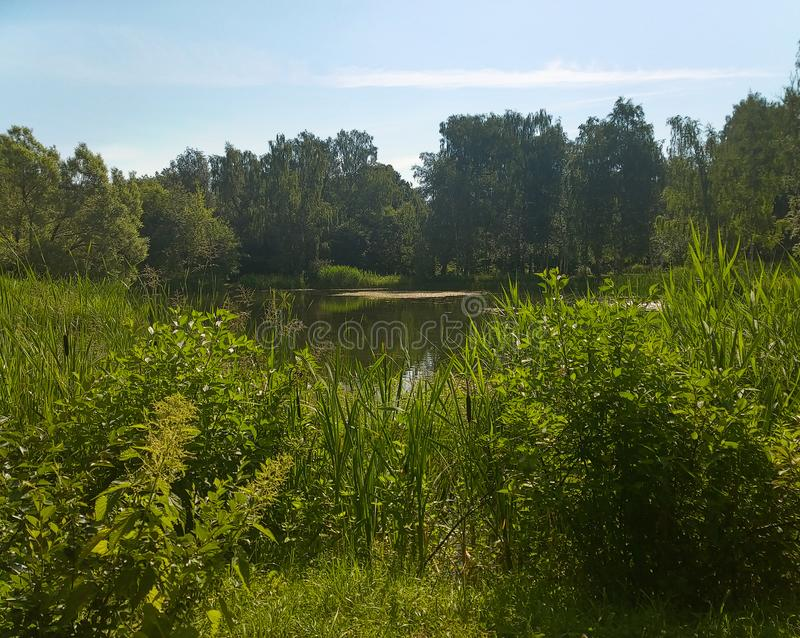 A picturesque pond with overgrown green banks in the city Park. royalty free stock photos