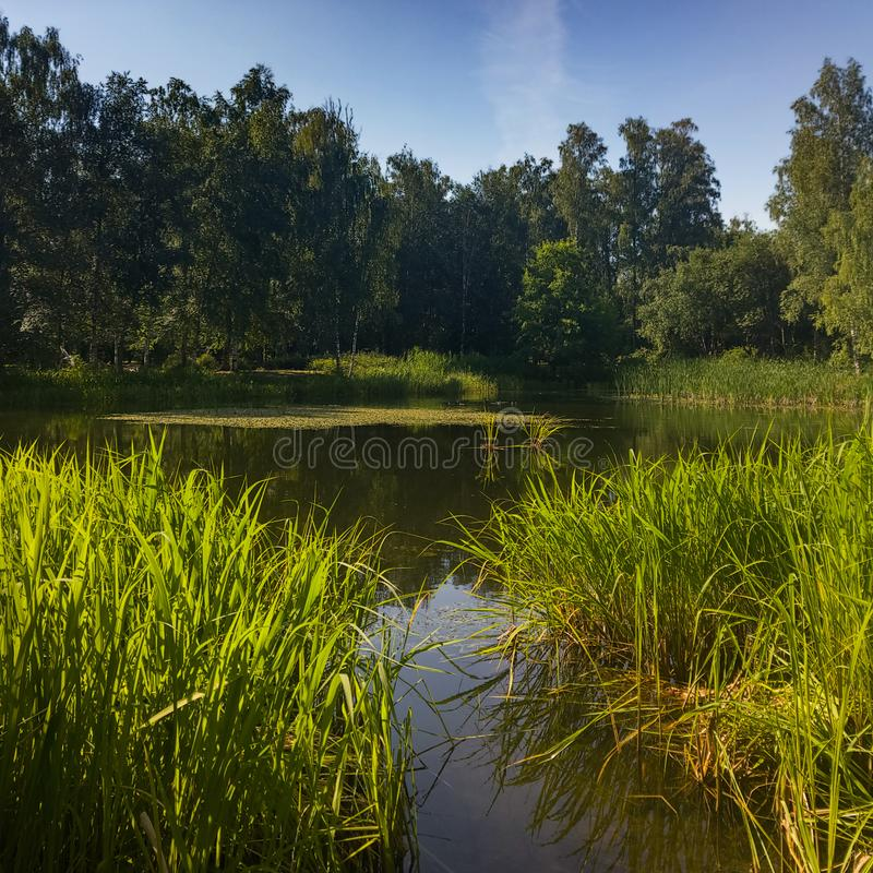 A picturesque pond with overgrown green banks in the city Park. royalty free stock photo