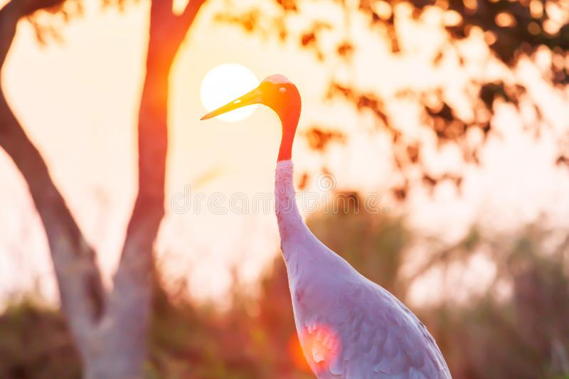 Picturesque portrait of a Sarus Crane relaxing in the grassland at dusk royalty free stock photography