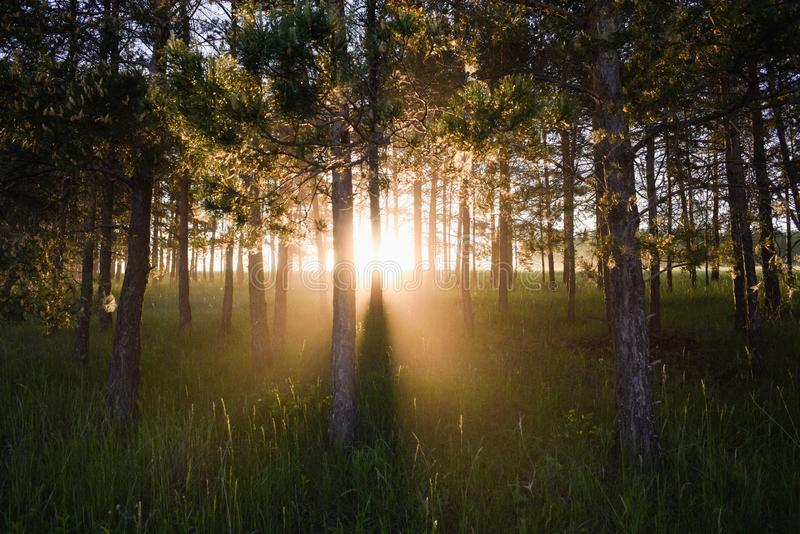 Picturesque scene of sun rising behind pine trees. Copy space royalty free stock image