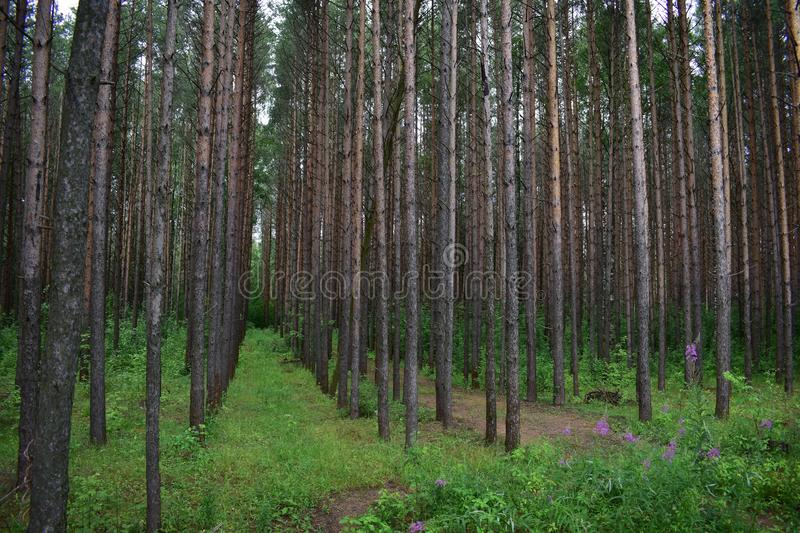 Picturesque shady smooth high rows of pine forest covers the sky with branches royalty free stock images