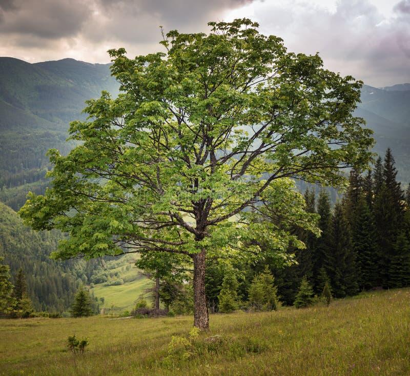 Picturesque tree dramatic background. Sepia color of Carpathian nature, Ukraine stock image