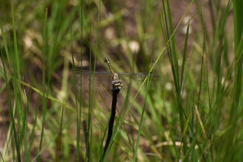 Pictus común de Ceratogomphus de la libélula de Thorntail en la mirada del prado fotos de archivo libres de regalías