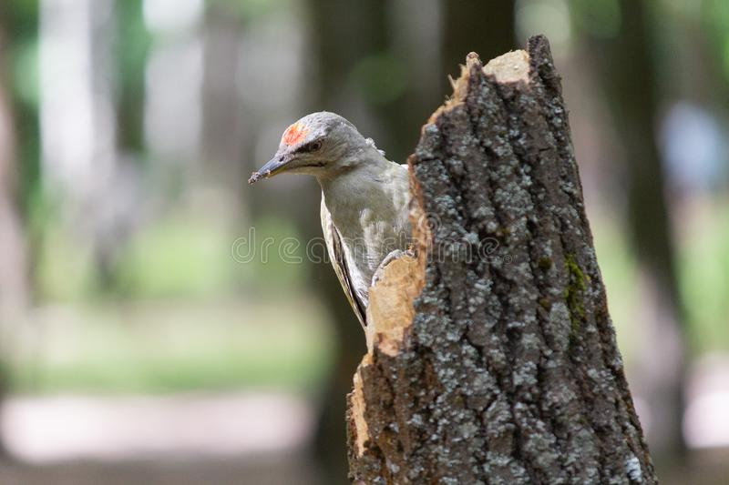 Picus canus woodpecker on a tree royalty free stock image