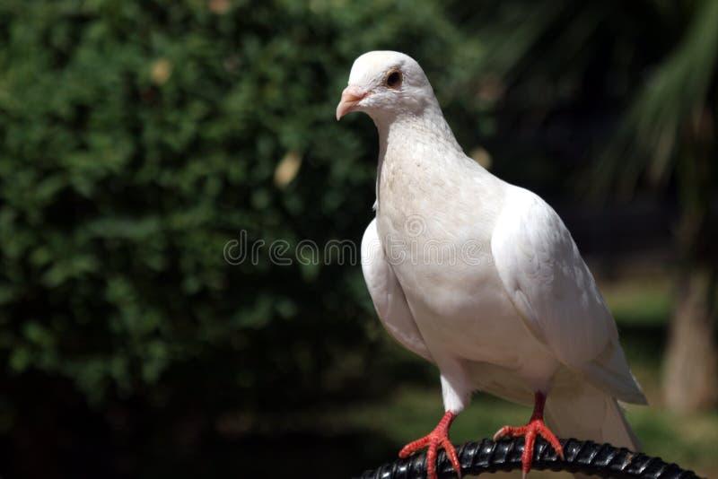 Pidgeon royalty-vrije stock afbeelding