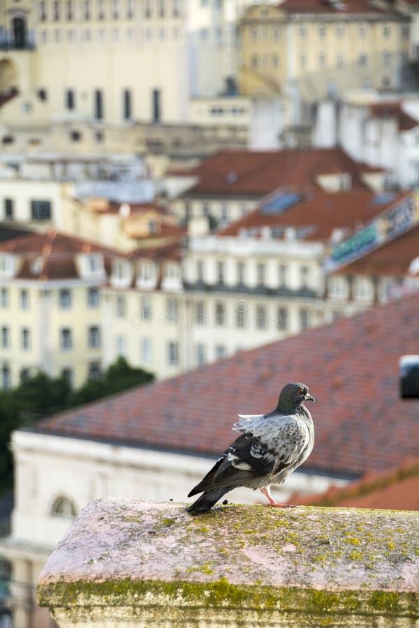 Pidgeon op dak in Lissabon stock foto's