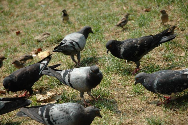 Pidgeonsinthepark photo libre de droits