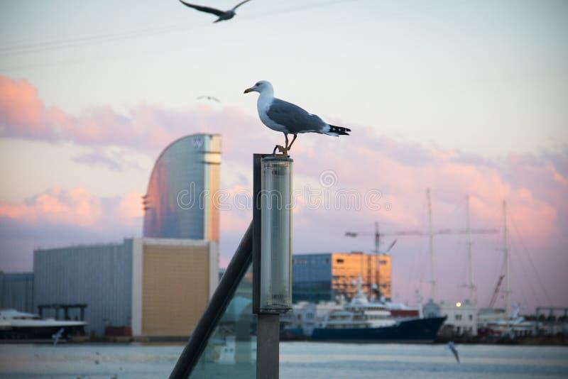 Pidgin no porto Vell em Barcelona, Espanha fotos de stock