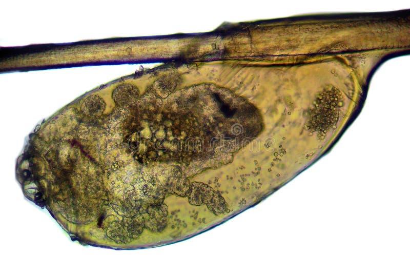 Pidocchio del capo - capitis del Pediculus, immagine del microscopio immagine stock libera da diritti