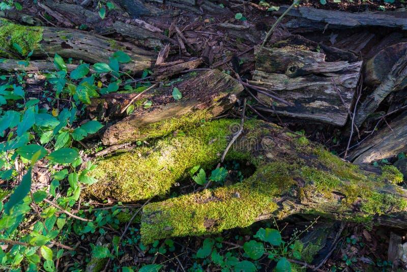 Pień drzewa zniszczony w czasie i pokryty mchem zdjęcia royalty free