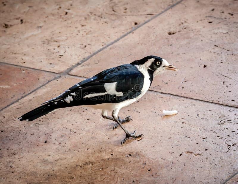 Pie-alouette ou Peewee Bird Eating Food Scraps australienne photos stock