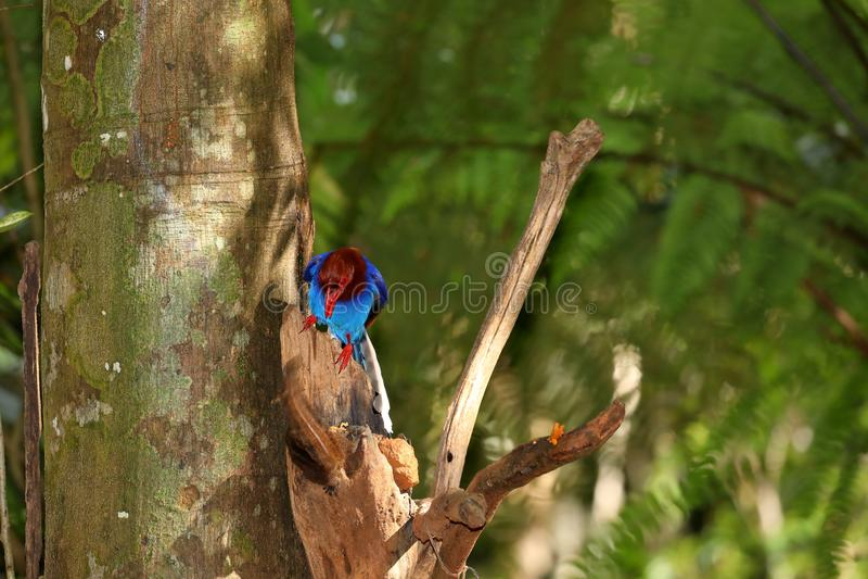 Pie bleue de Sri Lanka dans la jungle de Sinharaja photo stock
