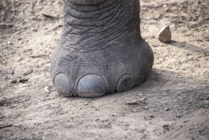 Pie del elefante foto de archivo