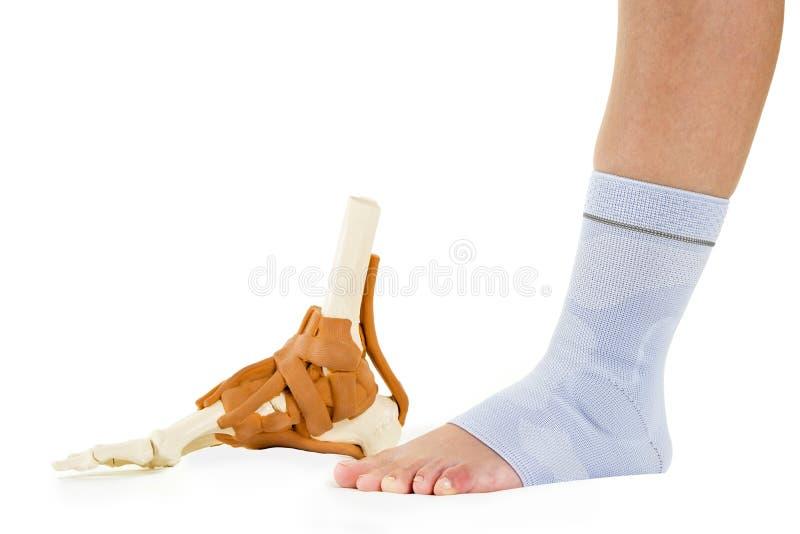 Pie humano de la mujer en apoyo de tobillo y modelo esquelético foto de archivo