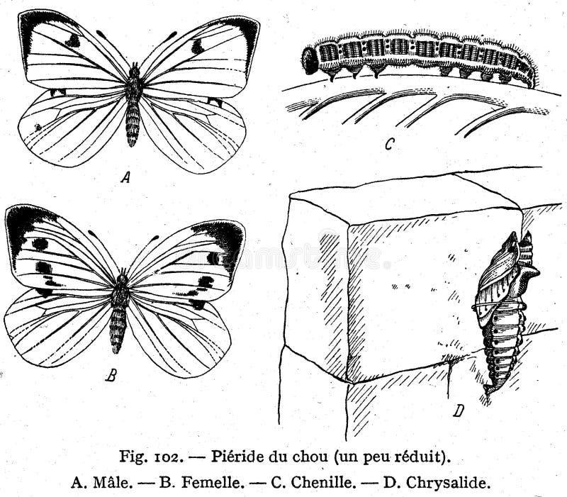 Piéride Du Chou Free Public Domain Cc0 Image