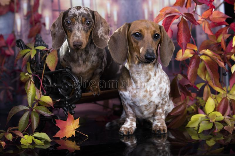 Piebald color Dachshunds dog in the autumn background. Dachshunds dog in the autumn background royalty free stock photography