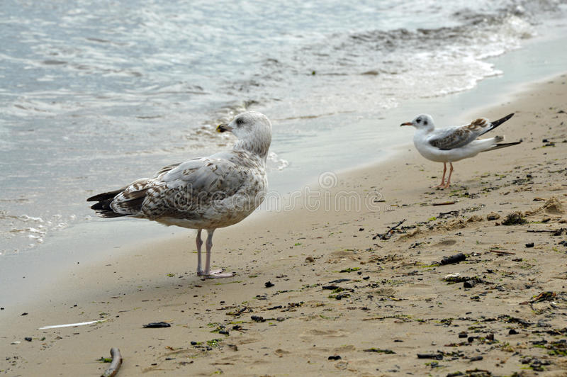 Piebald and grey&white sea gulls looking at the Baltic Sea stock photo