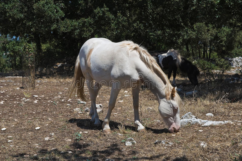 Download Piebald Horse Mare. Royalty Free Stock Images - Image: 22365029