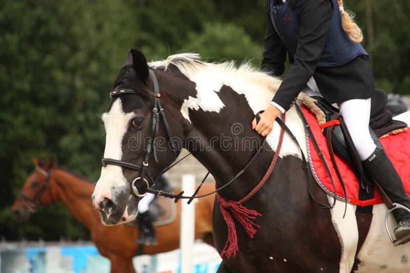 Piebald tinker horse portrait royalty free stock images