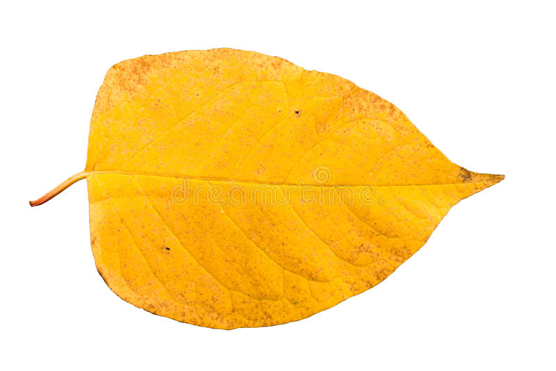 Piece of autumn leave in state of withering stock images