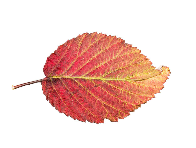 Piece of autumn leave withering in fall. Isolated on white background royalty free stock photography