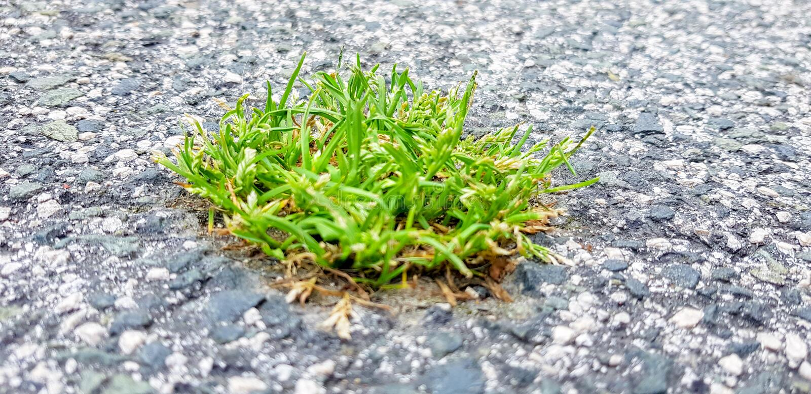 A piece of grass is born in the asphalt. An image that symbolises the power of nature over the city. Green, broken, closeup, plant, growth, street, rough stock photography