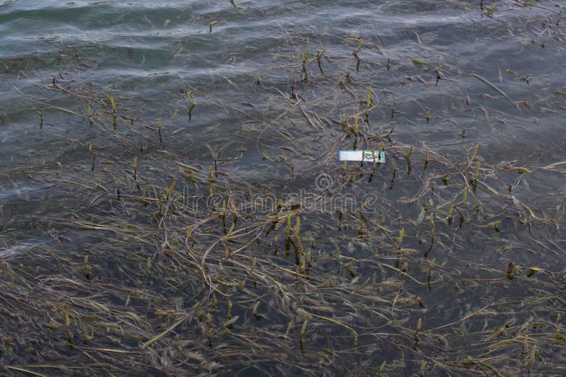 Piece of trash floating in hydrilla on lake stock photography