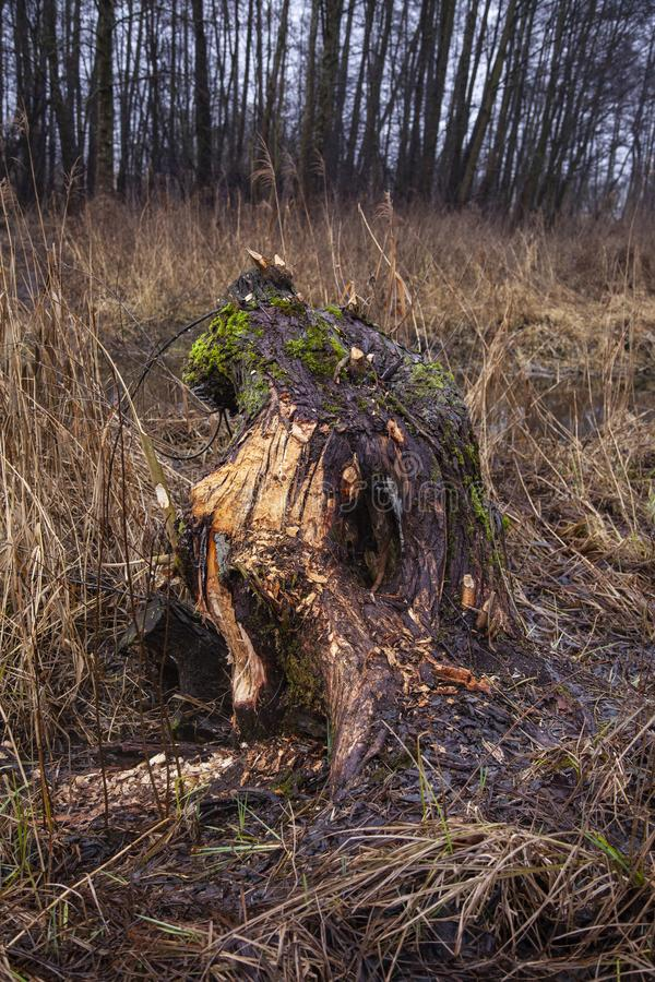 Piece of a tree cut by beavers stock photo
