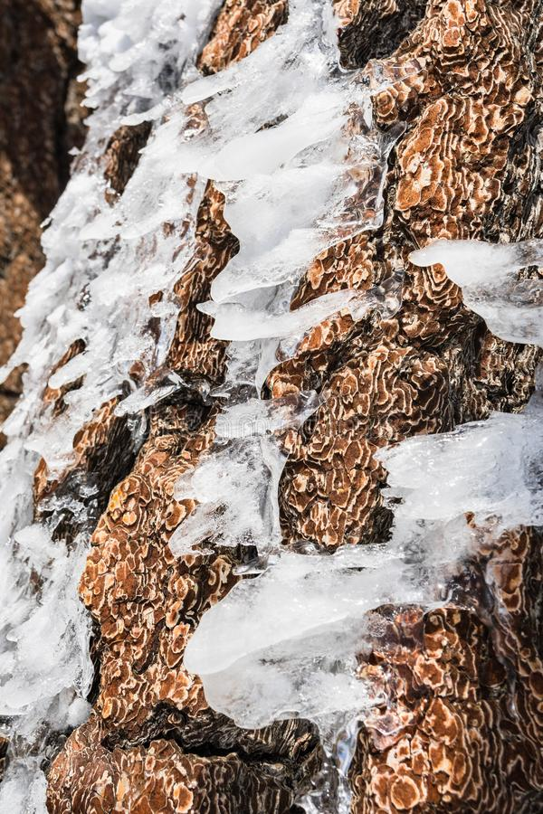 Pieces of ice shaped by wind on a pine tree trunk on top of Mt San Antonio, Los Angeles county, south California royalty free stock photos