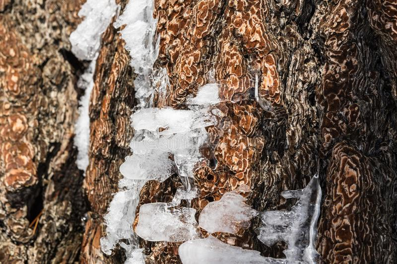 Pieces of ice shaped by wind on a pine tree trunk on top of Mt San Antonio, Los Angeles county, south California stock photos