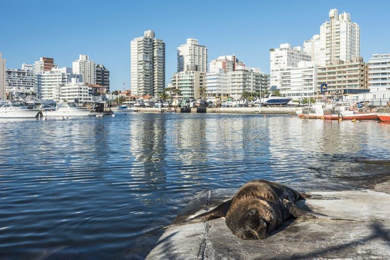 Pieczętuje lying on the beach przed jachtu klubem w Punta Del Este zdjęcie royalty free