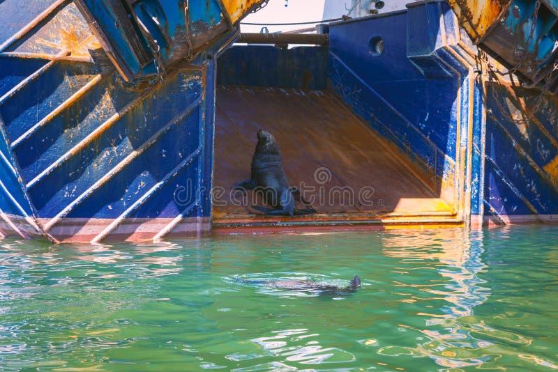 Pieczętuje obsiadanie na połowu trawlerze w porcie Kapsztad obrazy stock