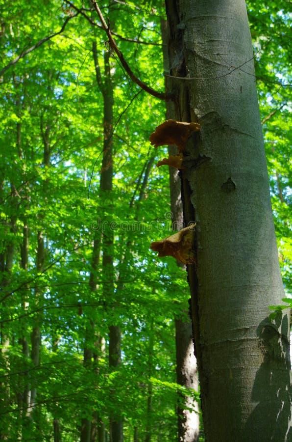 pieczarka na drzewie obrazy royalty free
