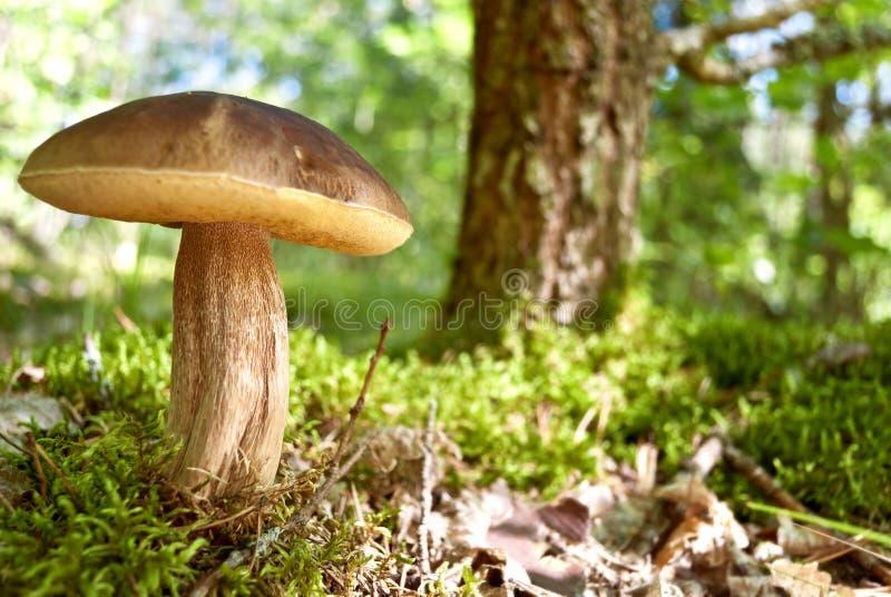 Pieczarka w lesie zdjęcie stock