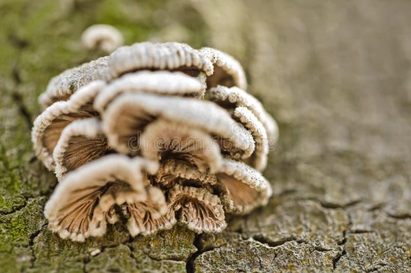 Pieczarki na drzewnym bagażniku zdjęcie royalty free