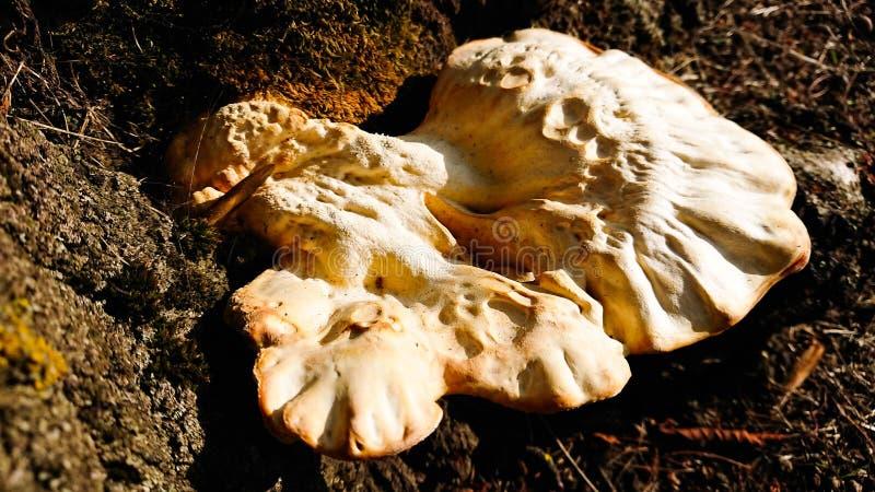 Pieczarki są mięsiste, pelengu fruiting grzyb ciało zdjęcie stock