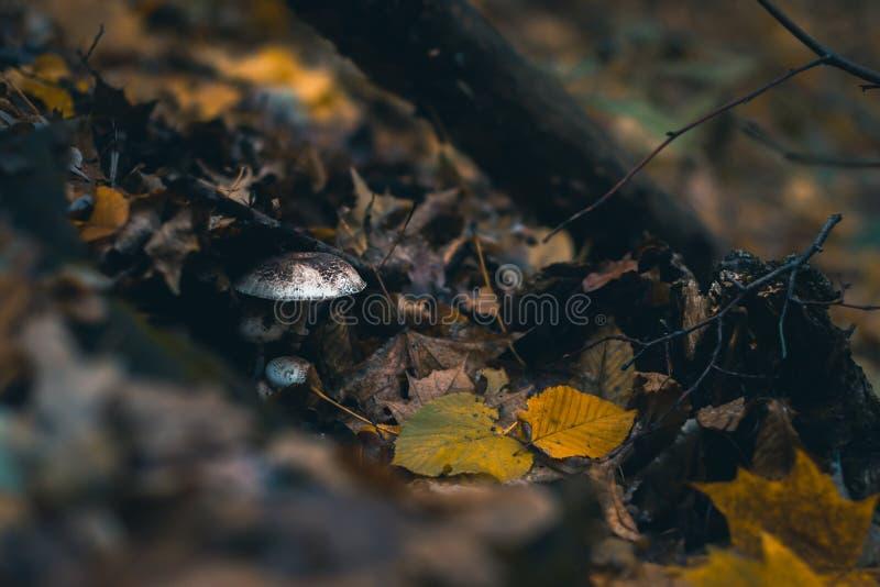 Pieczarki w jesień lesie w naturze z zamazanym tłem obraz royalty free