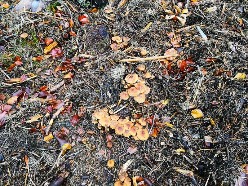 Pieczarki w jesieni łące w wczesnym poranku w lesie zdjęcia royalty free