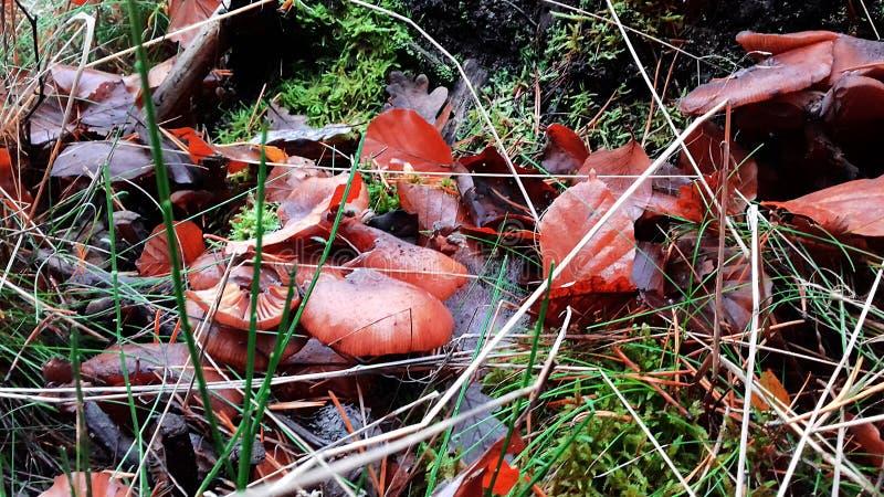Pieczarki w trawie Liść w trawie autumn wcześniej zdjęcie royalty free