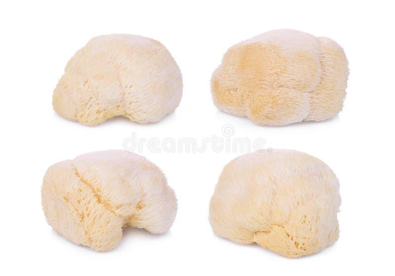 Pieczarkowa mokey głowa, lew grzywa lub yamabushitake odizolowywający, fotografia royalty free
