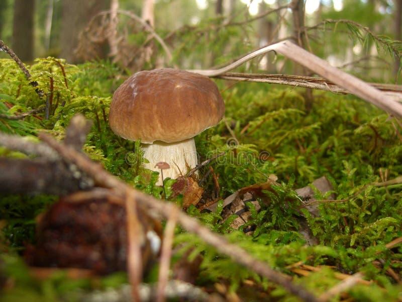 Pieczarkowy borowik w lesie zdjęcia stock